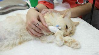Потерявшей лапу кошке впервые вживили бионический протез белорусского производства