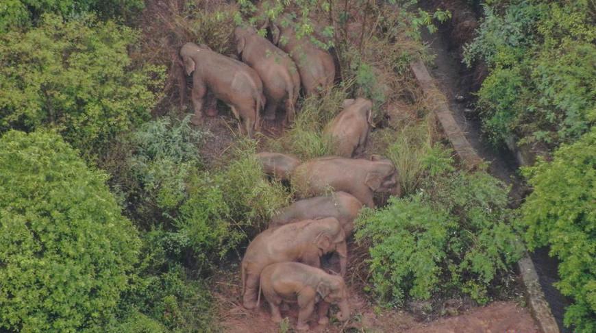 Более 150 тыс. жителей были эвакуированы в Китае из-за мигрирующих слонов