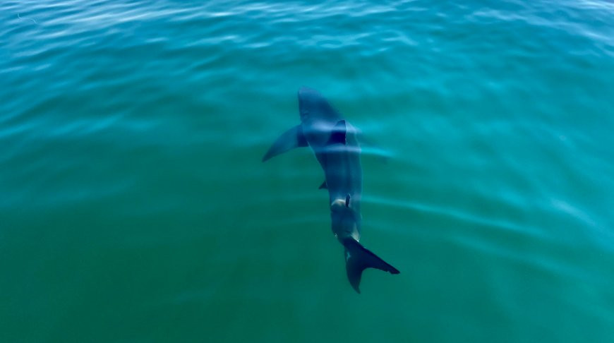 В прибрежных водах Южной Калифорнии в рекордных количествах собираются акулы