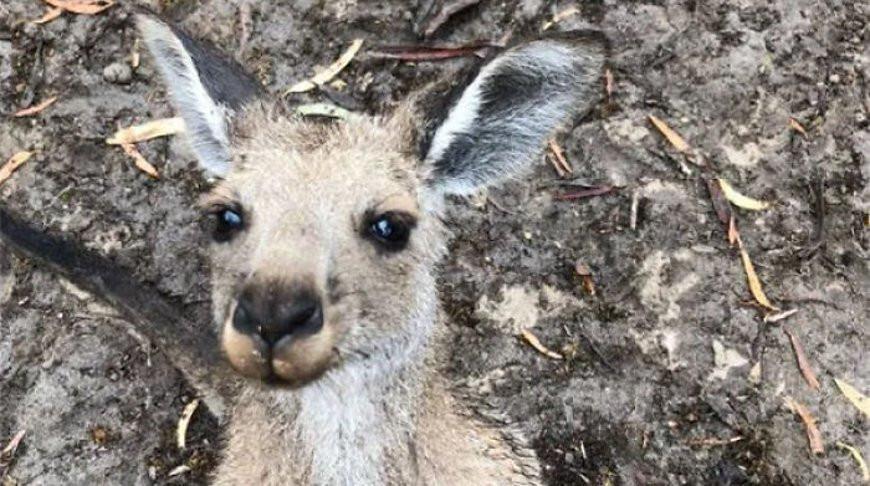 Отец пытался защитить детей, но был нокаутирован кенгуру – видео