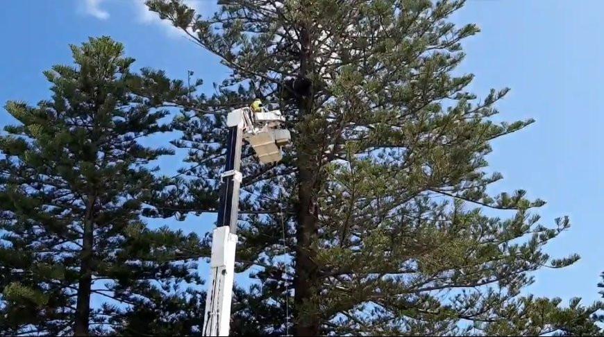 Диван оказался на верхушке дерева в Австралии. Как он туда попал? (Видео)