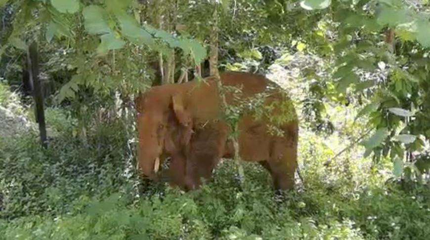 Один из бродячих слонов Китая возвращен в заповедник