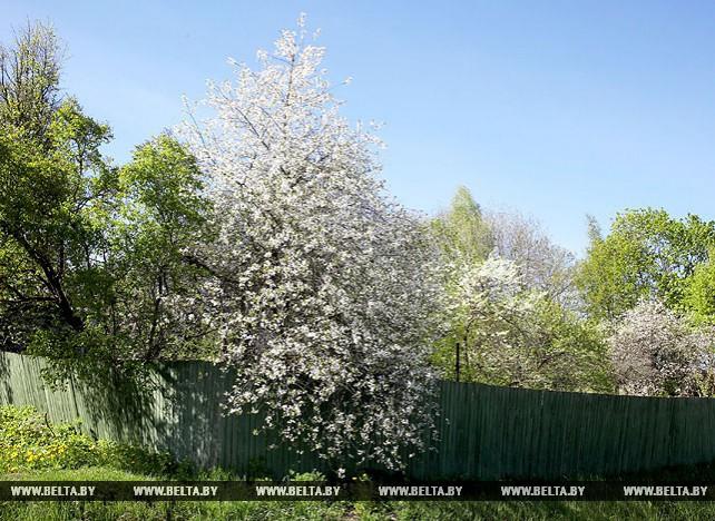 В Витебске зацвели сады