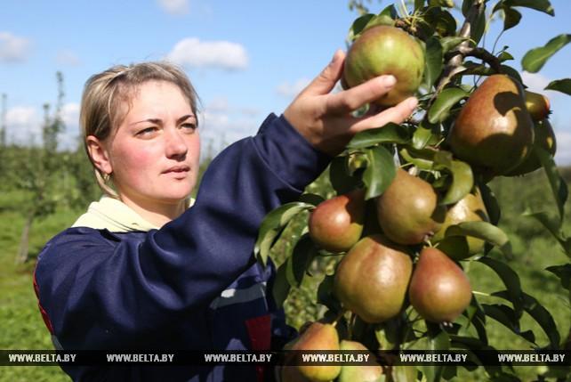 """В СПК """"Прогресс Вертелишки"""" идет сбор яблок и груш"""