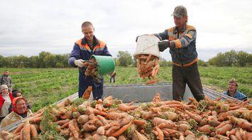 """Уборка моркови идет в филиале """"Мокрянский"""" Быховского консервно-овощесушильного завода"""