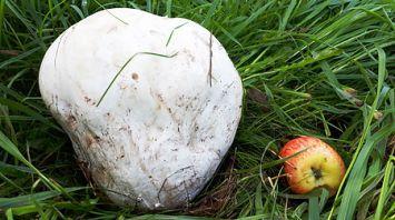 Гигантский гриб дождевик