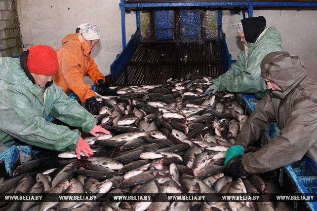 """Рыбхоз """"Свислочь"""" планирует в этом году реализовать около 460 т прудовой рыбы"""