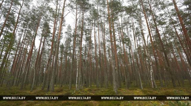 Налибокская пуща - один из крупнейших лесных массивов Восточной Европы
