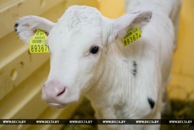 """Более 15,2 тыс. голов скота содержится на фермах ОАО """"Остромечево"""""""