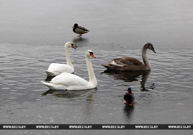 Семейство лебедей поселилось в водоеме в Витебске