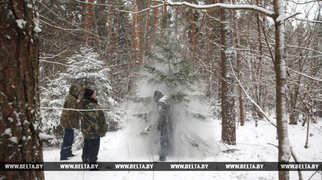 Лесхозы Могилевской области начали заготовку елок для массовой реализации
