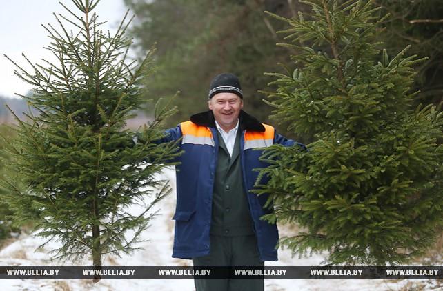 Молодечненский лесхоз планирует продать 4 тыс. елок к Новому году
