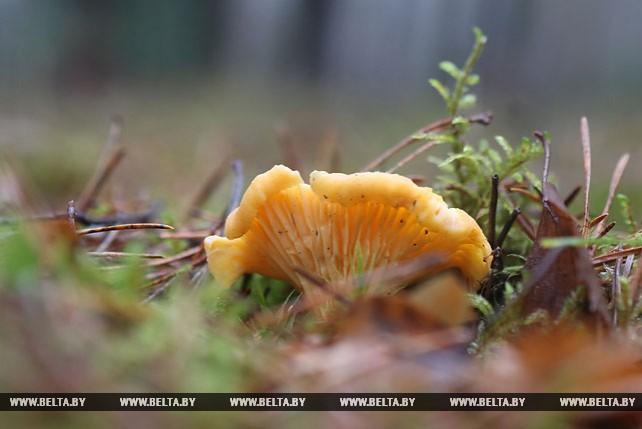 В лесах под Гродно выросли лисички