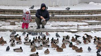 Большая стая уток зимует в Витебске