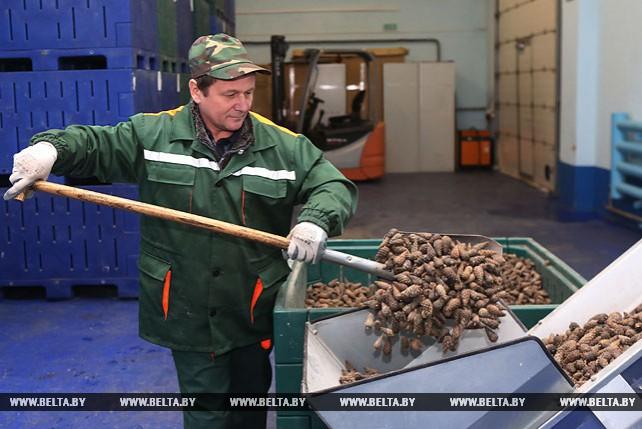 Гродненские лесоводы заготовят 500 кг семян ели с улучшенными наследственными свойствами