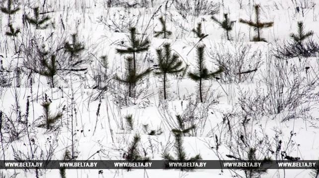 Зона поражения сосновых лесов Гомельщины короедом с приходом теплых зим увеличивается