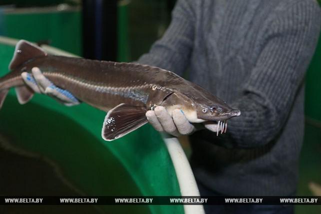 Форель и стерлядь выращивают в рыбопитомнике при БГСХА