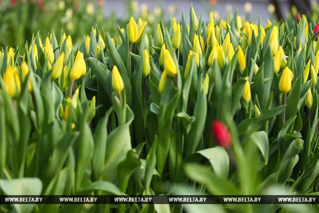 """Цветоводы брестского """"Коммунальника"""" вырастили к 8 Марта около 30 тыс. тюльпанов"""