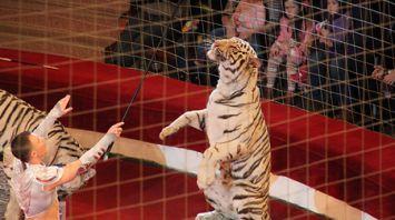 Белые тигры выступают на арене Гомельского цирка