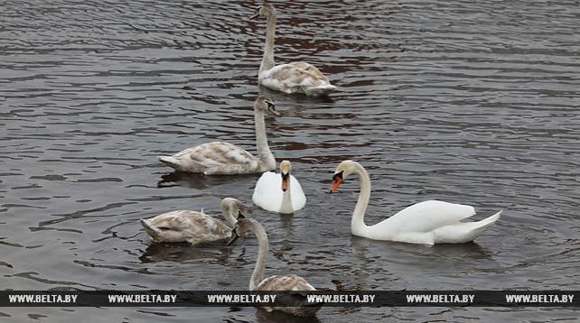 Стая лебедей поселилась в Витебске