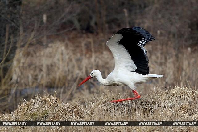 Перелетные птицы возвращаются в Беларусь