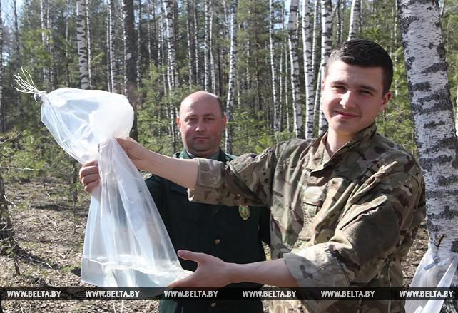 Специалисты Мозырского лесхоза собрали 30 т березового сока