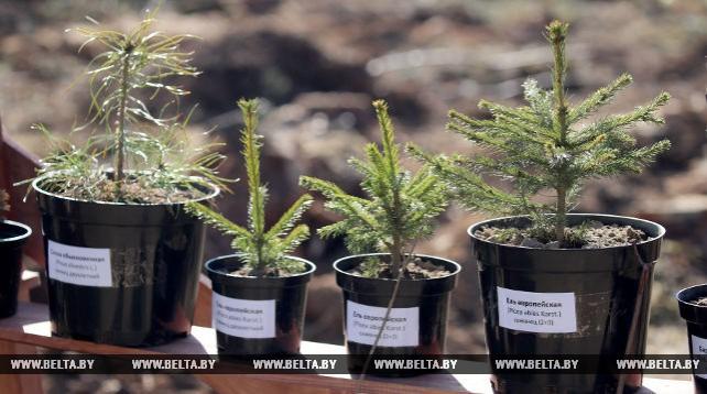Более 18 млн деревьев планируется посадить в Беларуси во время Недели леса
