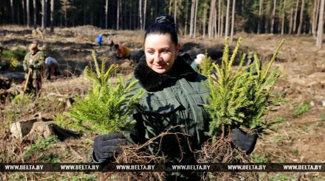 Около 200 тыс. саженцев высадят в Могилевском лесхозе во время Недели леса