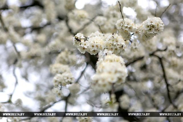 Цветущий Минск