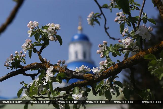 В Гродненской области зацвели яблони