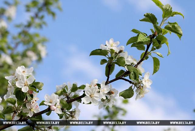 В Могилевском районе цветут яблоневые сады