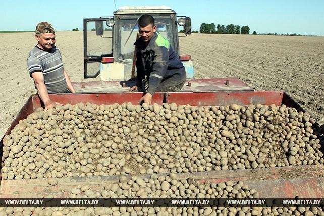 В Добрушском районе завершают посадку картофеля
