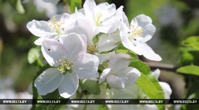 В музее-усадьбе Репина цветет яблоневый сад