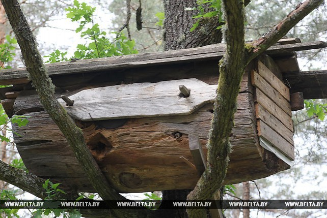 В Лельчицком районе сохранился древний промысел - бортничество