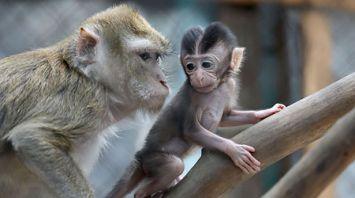 В Витебском зоопарке в двух семьях яванских макак родились малыши