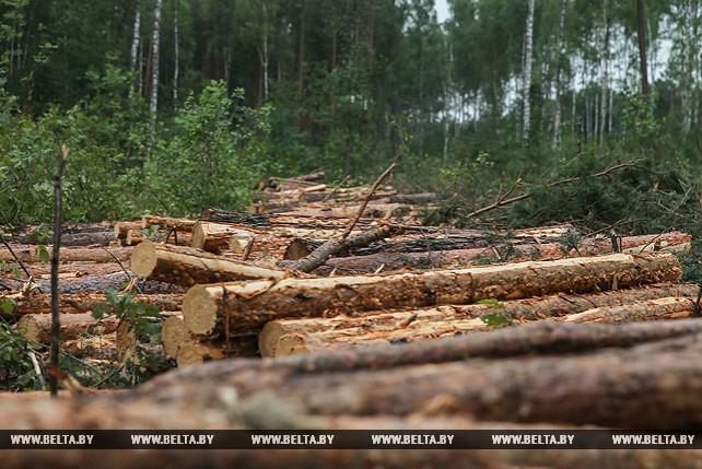 В Брестской области увеличилось количество пораженных жуком-короедом сосновых насаждений