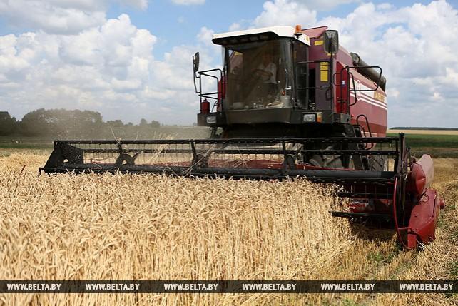 В Гродненской области приступили к уборке озимой пшеницы