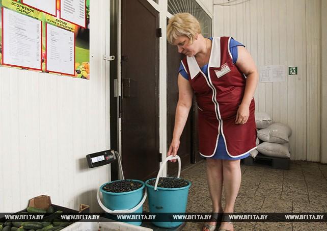 В Брестской области заготавливают чернику