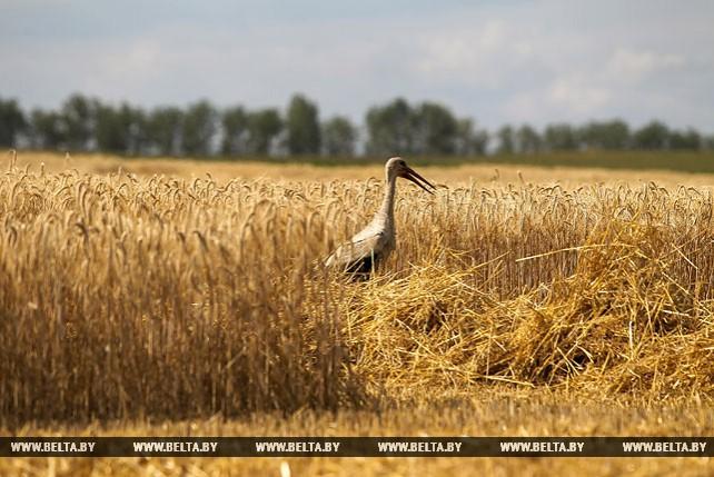 Уборка зерновых идет в Брестском районе