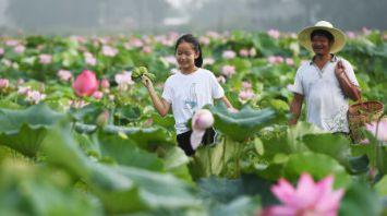 В Китае собирают семена лотоса