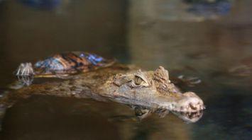 В Минском зоопарке вылупились 17 крокодиловых кайманов