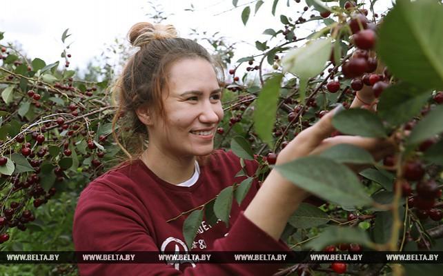 В хозяйствах Могилевского района собирают урожай фруктов и ягод