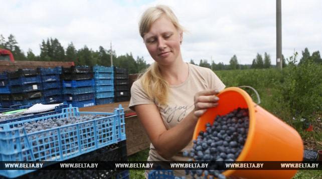Голубика под Гродно радует хорошим урожаем