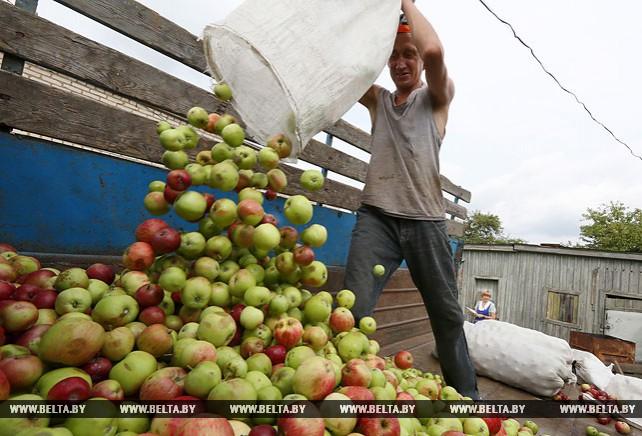 Солигорское райпо заготавливает яблоки