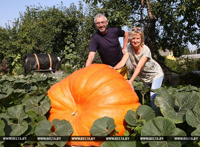 Житель Гродно вырастил на приусадебном участке гигантскую тыкву
