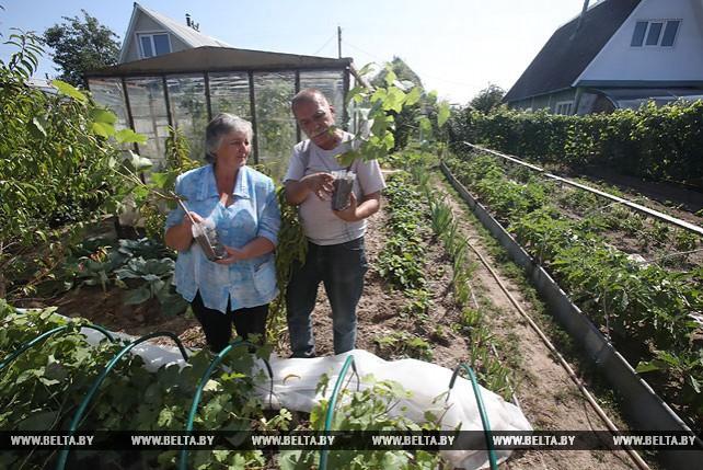 Дачница в Гомельском районе выращивает около 60 сортов винограда