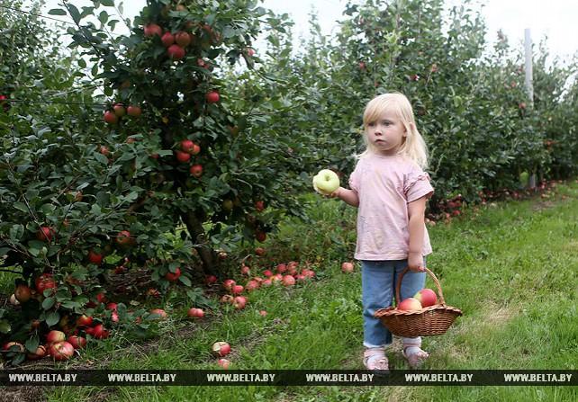 """В СПК """"Прогресс-Вертелишки"""" собирают урожай яблок"""