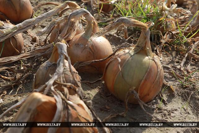 Уборка лука идет в Кировском районе