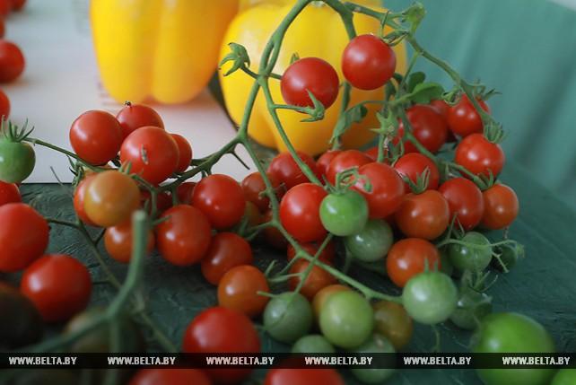 Сотрудники БГСХА создают высокоурожайные сорта томата и сладкого перца