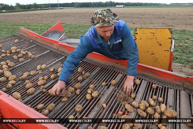 В Могилевском районе убирают картофель